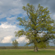 A lone tree on field — Stock Photo