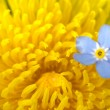 Yellow and blue flower — Stock Photo