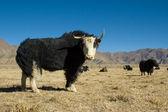 Black yak — Stock Photo