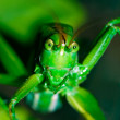 Grasshopper — Stock Photo #1681258
