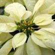 Poinsettia — Photo