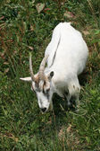 Koza — Stock fotografie