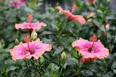 Chinese hibiscus — Stock Photo