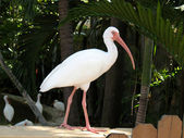 White ibis — Stock Photo