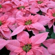 Royalty-Free Stock Photo: Poinsettia