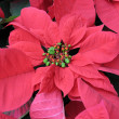 Poinsettia — Stock fotografie