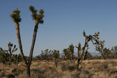Joshua Bäume in der Mojave-Wüste — Stockfoto