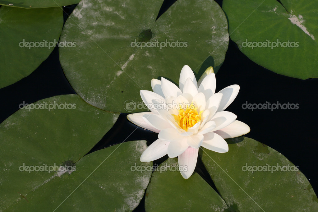 Water lily in a pond — Stock Photo #2071173