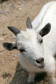 Koza — Zdjęcie stockowe