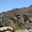 Stock Photo: Joshutrees in Mojave Desert