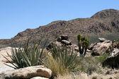 Joshua trees in Mojave Desert — Stock Photo