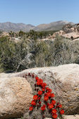Spring in Mojave Desert — Stock Photo