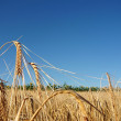 Ripe wheat over blue sky — Stock Photo