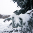 Pine branch with snow — 图库照片