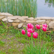 Red tulipes in the garden — Stock Photo