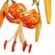 Flower of tiger lily — Stock Photo