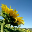 Stock Photo: Sunflower field over blue sky