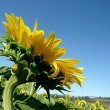 Foto Stock: Sunflower field over blue sky