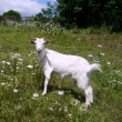 White nanny goat — Photo #2245431