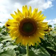 Foto Stock: Sunflower over blue sky