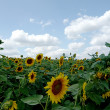 Field of sunflowers — Stock Photo #2245484