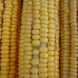 Stock Photo: Ripe corn