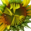 Sunflower — Stock Photo #2246099