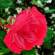 Royalty-Free Stock Photo: Red rose