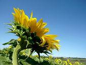 Solros fält under blå himmel — Stockfoto