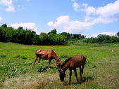 Horses on green meadow — Stock Photo