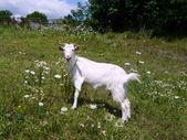 Witte nanny geit — Stockfoto
