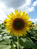 Sunflower over blue sky — Stock fotografie