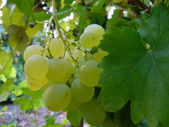 Ripe grapes — Foto de Stock