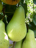 Green tasty pears — Stock Photo