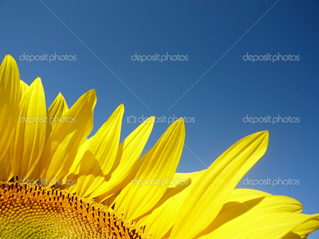 Sunflower and blue sky — Stock Photo #2245360