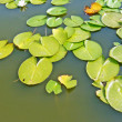 Stock Photo: Leaves of water lily