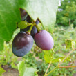 Stock Photo: Ripe grape