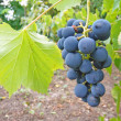 Ripe grape — Foto Stock #2299704