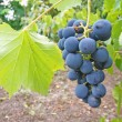 Foto Stock: Ripe grape
