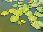 Leaves of water lily — Stock Photo