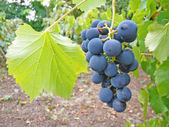 Ripe grape — Stock Photo