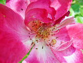 Rosa aumentou — Fotografia Stock