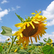 Sunflower — Stock Photo #2431073