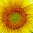Sunflower detail — Stock Photo #2437697