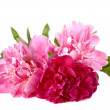Three peonies on white background — Stock Photo