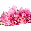 Pink peonies with drops of water — Stock Photo