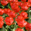Field of beautiful red tulips — Stock Photo