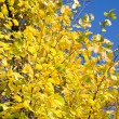 Yellow autumn leaves over blue sky — Stock Photo