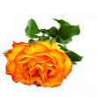 Beautiful yellow-red rose - Stock Photo