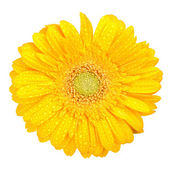 Yellow gerbera with drops of water — Stock Photo